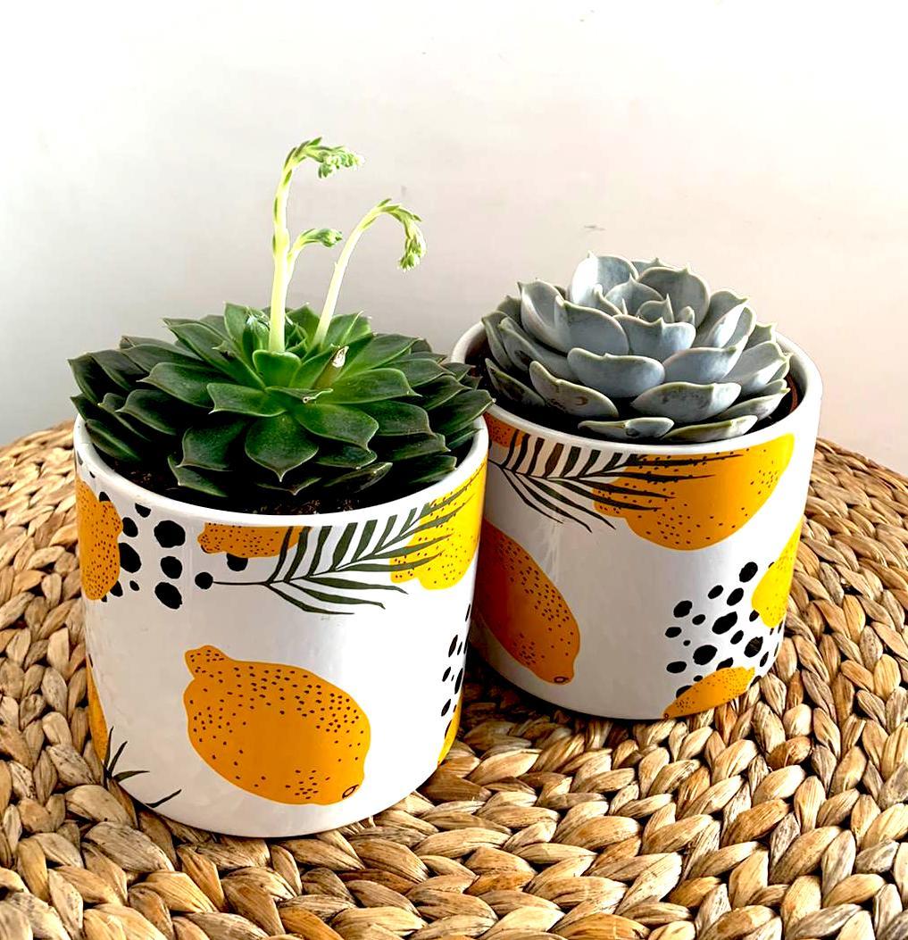 Terrario Per Piante Grasse pianta grassa in vaso di ceramica